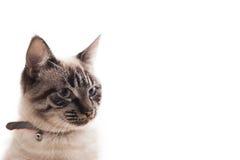 Bello gatto Immagine Stock Libera da Diritti