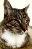 Bello gatto Fotografia Stock Libera da Diritti