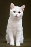 Bello gatto bianco con gli occhi gialli Fotografia Stock Libera da Diritti