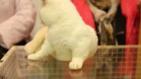 Bello gatto bianco di Munchkin che si siede sulla scatola di vetro e che gioca con il proprietario video d archivio