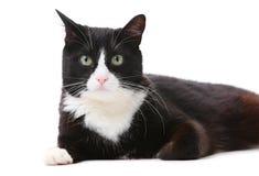 Bello gatto in bianco e nero sopra bianco Fotografia Stock Libera da Diritti