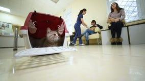Bello gatto che si siede in un canestro animale contro il contesto di una clinica veterinaria archivi video