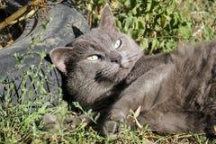 Bello gatto cinereo lussureggiato sull'erba Immagini Stock Libere da Diritti