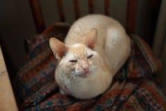 Bello gatto con peli ricci Immagini Stock