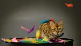 Bello gatto del Bengala nello studio archivi video