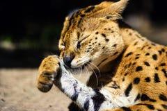 Bello gatto del serval fotografia stock libera da diritti
