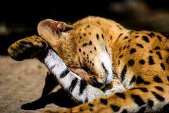 Bello gatto del serval immagini stock libere da diritti