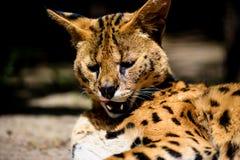Bello gatto del serval fotografia stock