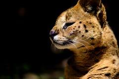 Bello gatto del serval fotografie stock