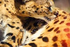 Bello gatto del serval immagini stock