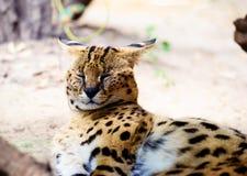 Bello gatto del serval immagine stock
