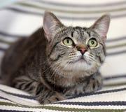 Bello gatto dello shorthair del soriano Immagine Stock