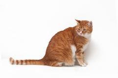 Bello gatto dello zenzero Immagini Stock
