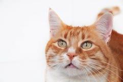 Bello gatto dello zenzero Immagini Stock Libere da Diritti