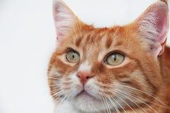 Bello gatto dello zenzero Immagine Stock