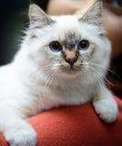 Bello gatto di birmano Immagine Stock Libera da Diritti