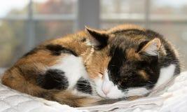 Bello gatto di calicò addormentato Fotografie Stock Libere da Diritti