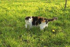 Bello gatto di calicò lanuginoso in erba verde immagine stock