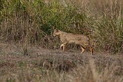 Bello gatto di giungla nell'habitat della natura in India Fotografia Stock
