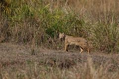 Bello gatto di giungla nell'habitat della natura in India Fotografie Stock Libere da Diritti