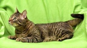 Bello gatto di tabby Fotografie Stock Libere da Diritti