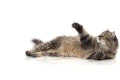Bello gatto divertente immagini stock