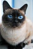 Bello gatto domestico con gli occhi azzurri fotografia stock libera da diritti