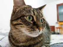 Bello gatto elegante che si trova sul letto nella camera da letto Museruola vicino alla struttura Immagine Stock