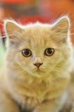 Bello gatto grigio Fotografia Stock Libera da Diritti