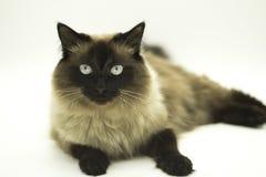 Bello gatto isolato su un fondo bianco fotografie stock