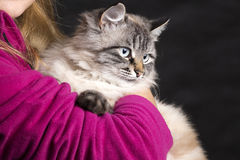 Bello gatto lanuginoso che si siede sulle mani immagini stock libere da diritti