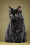 Bello gatto nero con gli occhi gialli fotografie stock libere da diritti