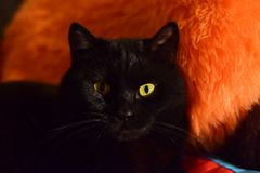 Bello gatto nero con gli occhi gialli immagine stock libera da diritti