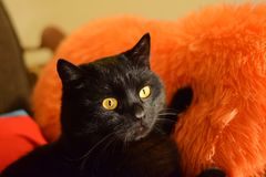 Bello gatto nero con gli occhi gialli fotografie stock