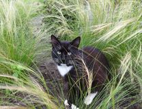 Bello gatto nero in giardino, Lituania Immagine Stock Libera da Diritti