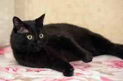 Bello gatto paffuto di Bombay Immagini Stock