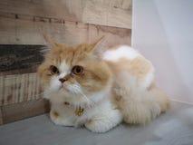 Bello gatto persiano immagine stock