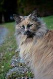 Bello gatto persiano Fotografia Stock