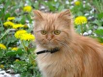 Bello gatto persiano lanuginoso Immagini Stock