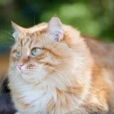 Bello gatto rosso Fotografia Stock