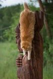 Bello gatto rosso Fotografie Stock Libere da Diritti