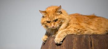 Bello gatto rosso Immagini Stock Libere da Diritti