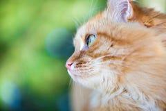 Bello gatto rosso Immagini Stock