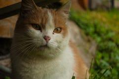 Bello gatto rosso-chiaro fotografie stock libere da diritti