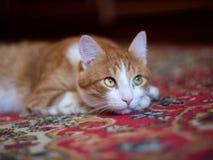 Bello gatto rosso con i grandi occhi che riposano sul tappeto Immagini Stock