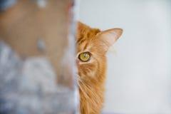 bello gatto rosso nascosto Fotografia Stock