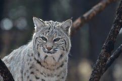 Bello gatto selvatico Fotografia Stock