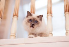 Bello gatto siberiano con gli occhi azzurri sul backround leggero immagini stock