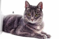 Bello gatto a strisce bianco marrone grigio Immagini Stock Libere da Diritti