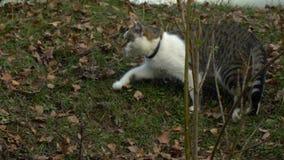 Bello gatto a strisce grigio che gioca nell'iarda archivi video
